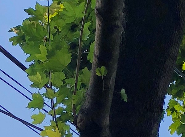 This maple tree is exhibiting typical water sprout growth — thin vertical shoots reach for the sky.