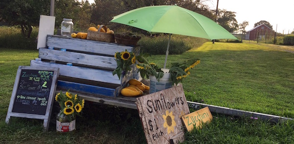 Southold, Sunflowers