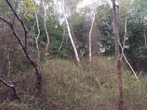A grove of birch trees, choked in briars, near the banks of the river