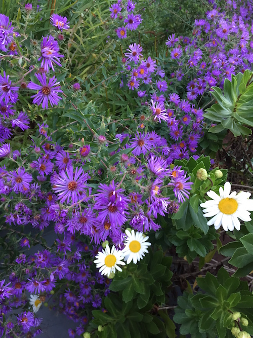 New England aster and Montauk daisy make a stunning pair
