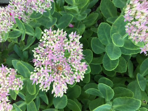 Sedums are a magnet for pollinators, such as this honeybee.