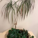 Dracaena marginata surrounded by heartleaf philodendron (which closely resembles pothos) in a windowless office