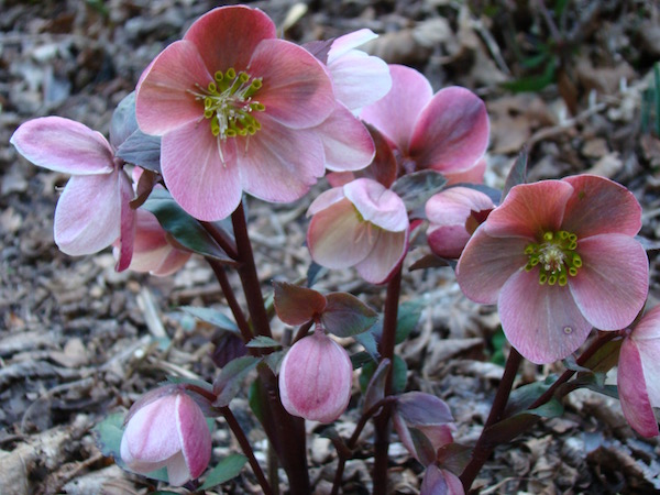 'HGC Pink Frost' is an early blooming hellebore   Erika Shank photo