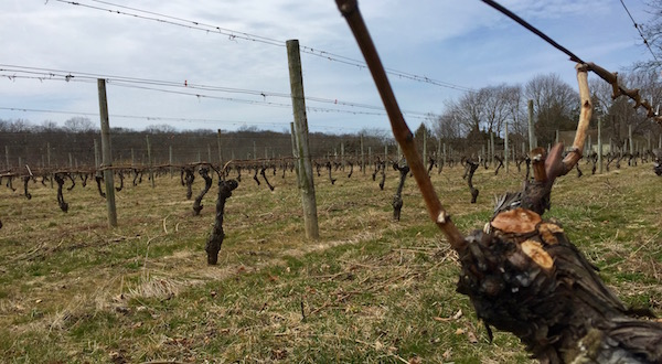 Waiting for bud break, Cutchogue.