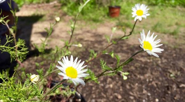 Chamomile, Spring