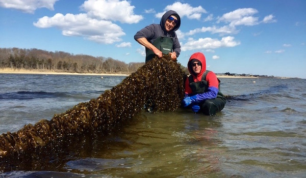 Pictured Above: Stony Brook University scientist Mike Doall and oyster farmer Paul McCormick with kelp grown on the Great Gunn oyster farm this spring.