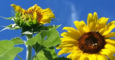 Planting pollinator-friendly flowers, such as sunflowers (shown here), is one way to sustain bee populations. | Laura Klahre photo