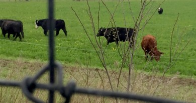 The new cows on the North Road, Southold.