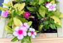 A single planting of Madagascar periwinkle pops in this wooden planter.