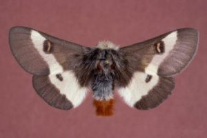 The Autumnal Mating Flight of the Buck Moth at Quogue Wildlife Refuge