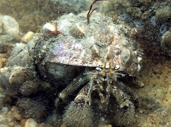 Pagurus pollicaris (flat-clawed hermit crab) was found in the Plum Island survey.   InnerSpace Scientific Diving photo