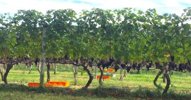 Readying for grape harvest, Peconic