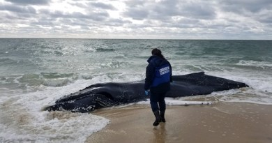 AMSEAS responded to a dead humpback whale in the surf in Southampton Thursday.   photo courtesy AMSEAS