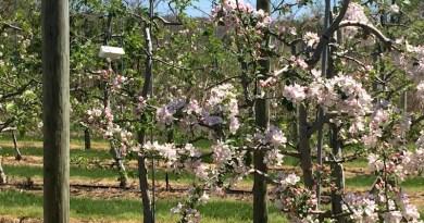 Apple Blossoms, Wickham's, Cutchogue