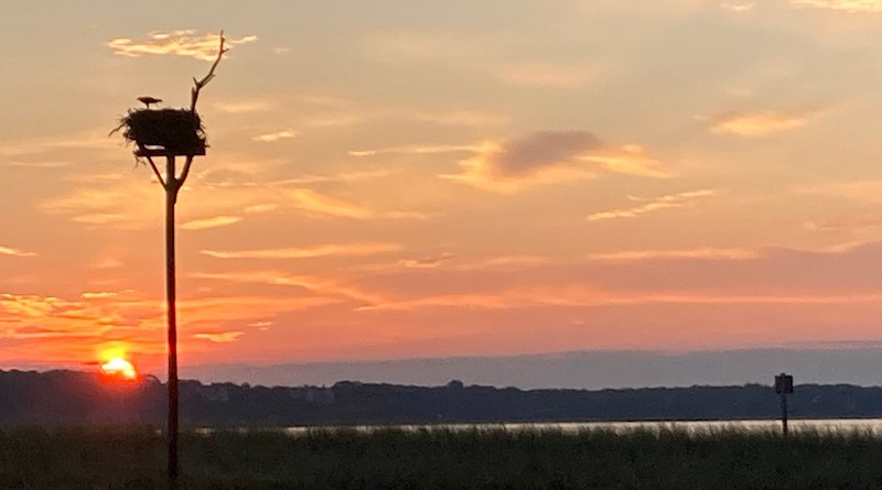 Osprey, New Suffolk