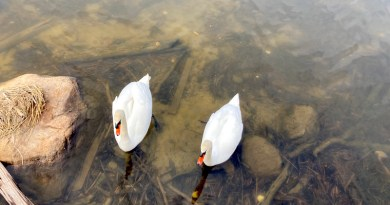 Swans at Inlet Pond