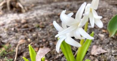 Hyacinth House