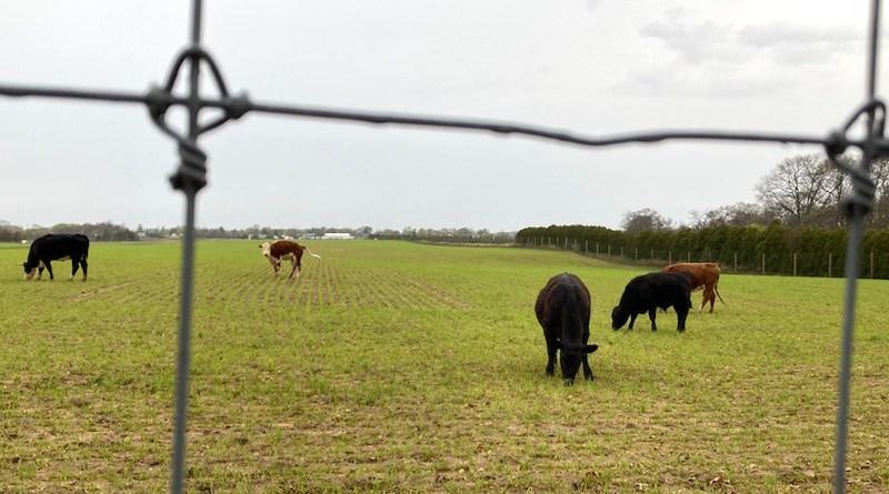 Cows in Laurel