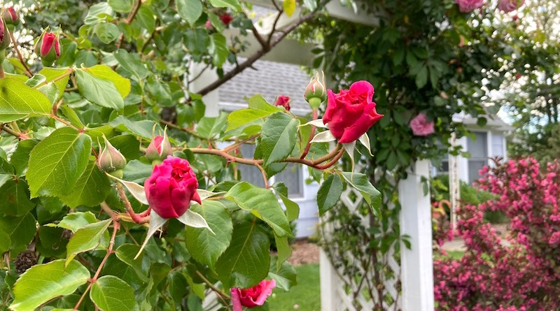 Roses, New Suffolk