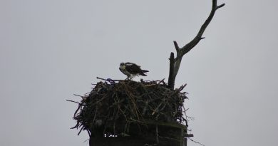 osprey in Henri