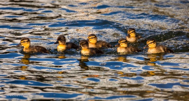 A group of Wapping ducklings swimming on the canal