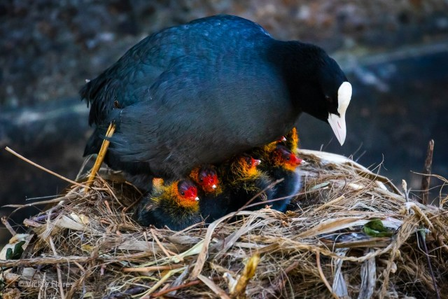 Mother coot keeps her chicks warm on a nest in Wapping