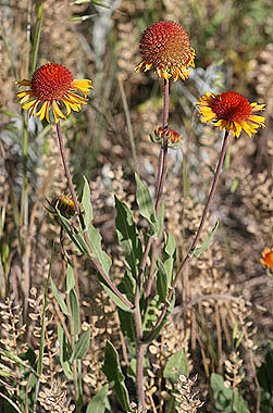 Gaillardia aristata  Colorado Wildflowers