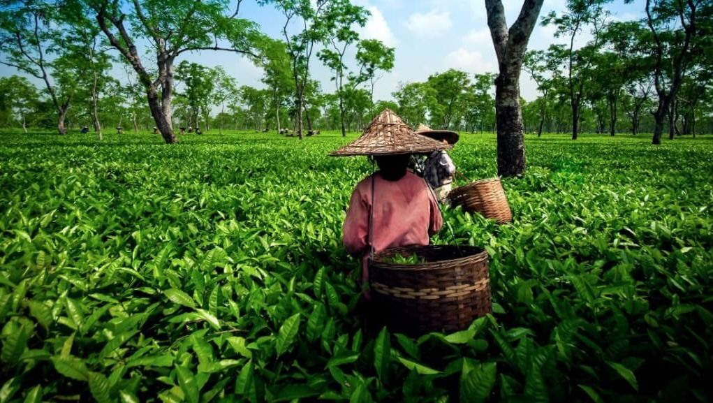 Lockdown effect. Small Tea Growers of Assam faced financial disorder. The production of green tea is lower day by day
