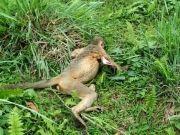 Electric shock kills Capped langur in Gabbon National