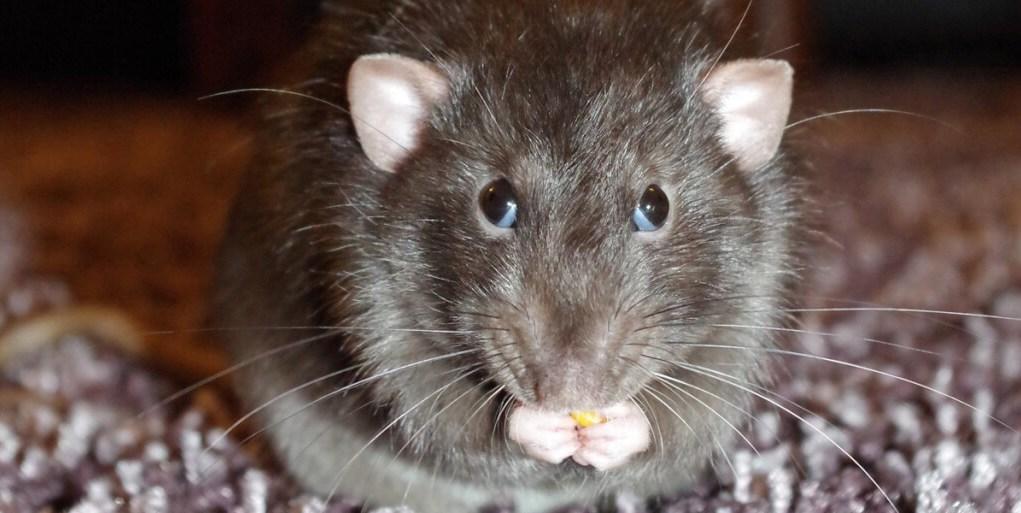 rat- transmitted hepatitis E virus