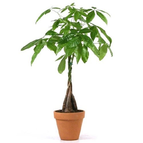 Money Trees Terracotta Pot from EasternLeafcom