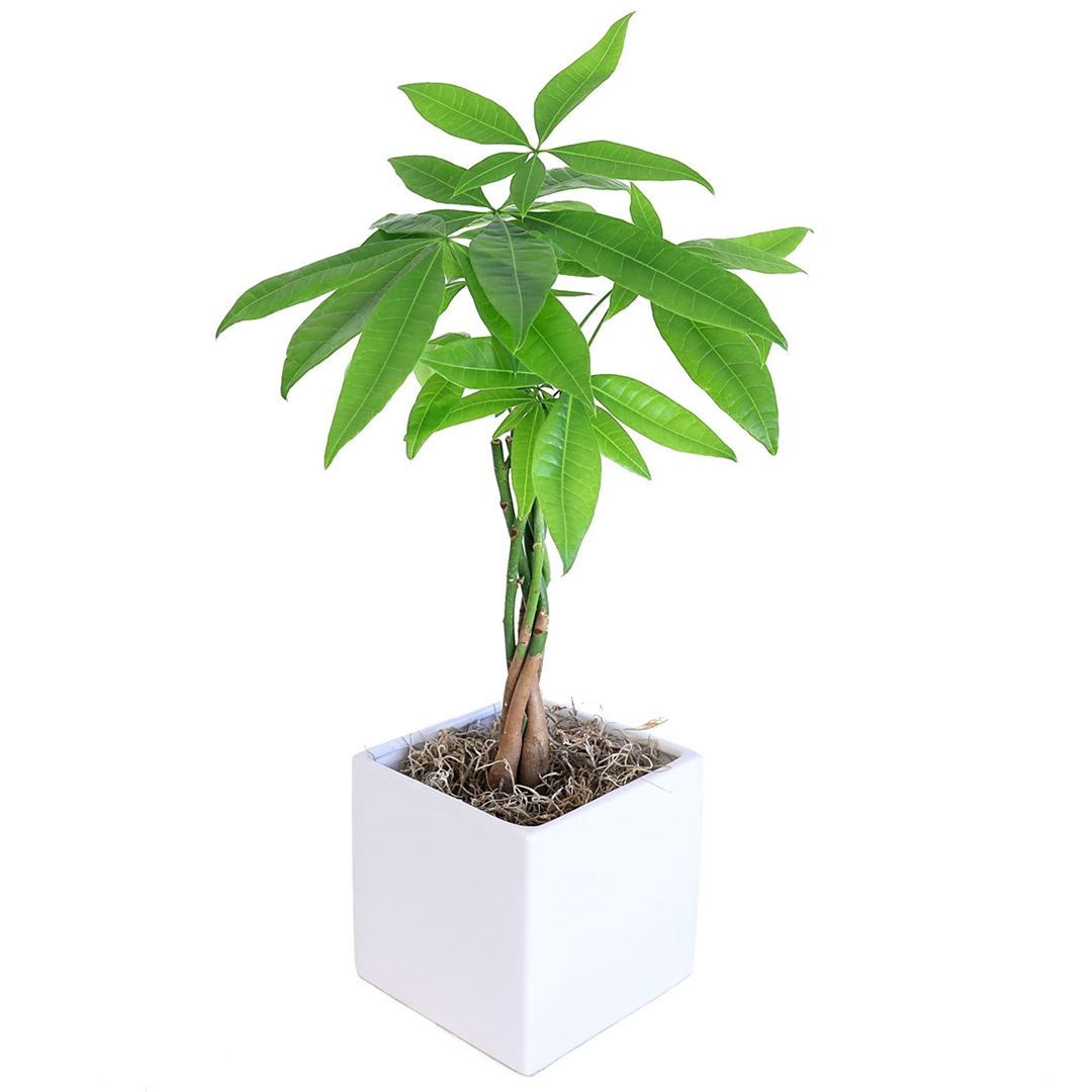 Braided Money Tree  Cube Vase from EasternLeafcom