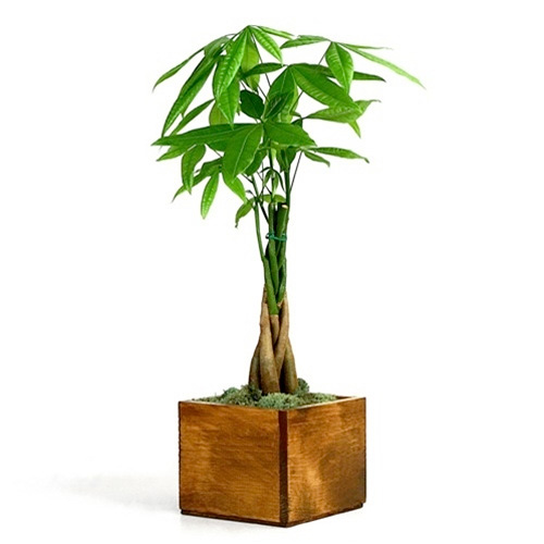 Money Tree  Wooden Pot from EasternLeafcom