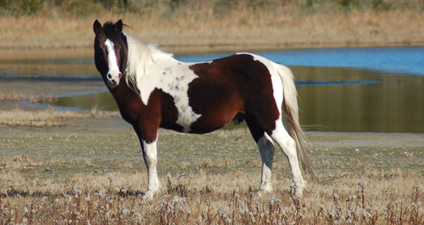Chincoteague Pony Swim  Life and Real Estate on the