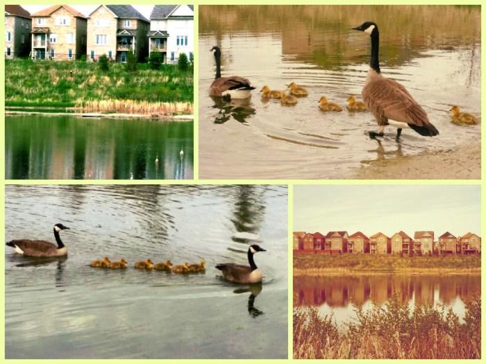 Ducks of East Gwillimbury