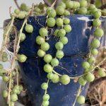 Senecio rowleyanus String of Pearls