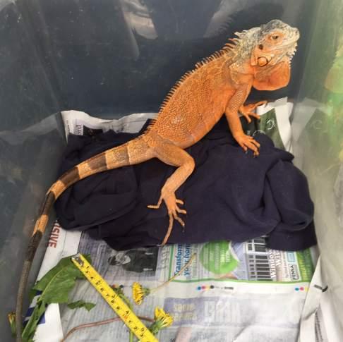 Iguana dumped in park_RSPCA