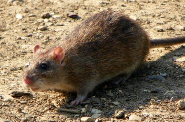 Keep Rats Away