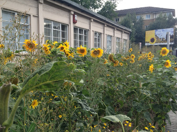 Keeping the streets smiling, sunflowers are blooming in New Cross. Photo by Scott Temple