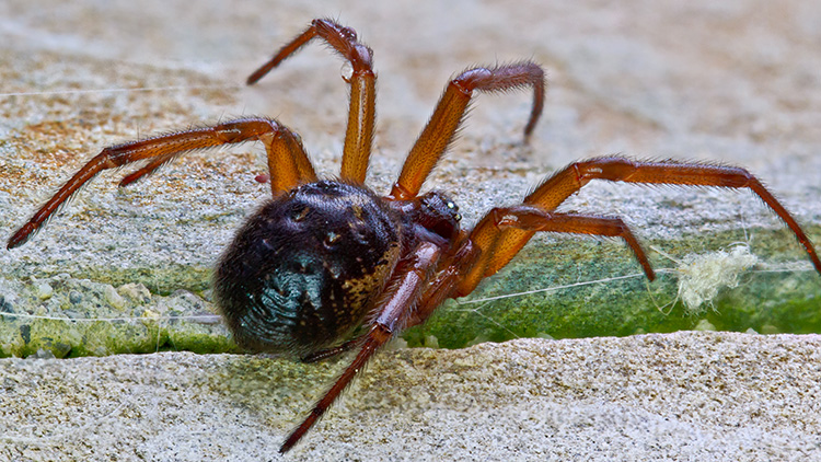False Widow Credit Mario Quevedo