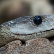 Venemous snakes are amongst many dangerous and exotic animals being kept in the UK. Pic: Foto-RaBe