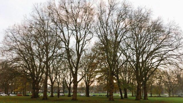 Hackney's London plane trees