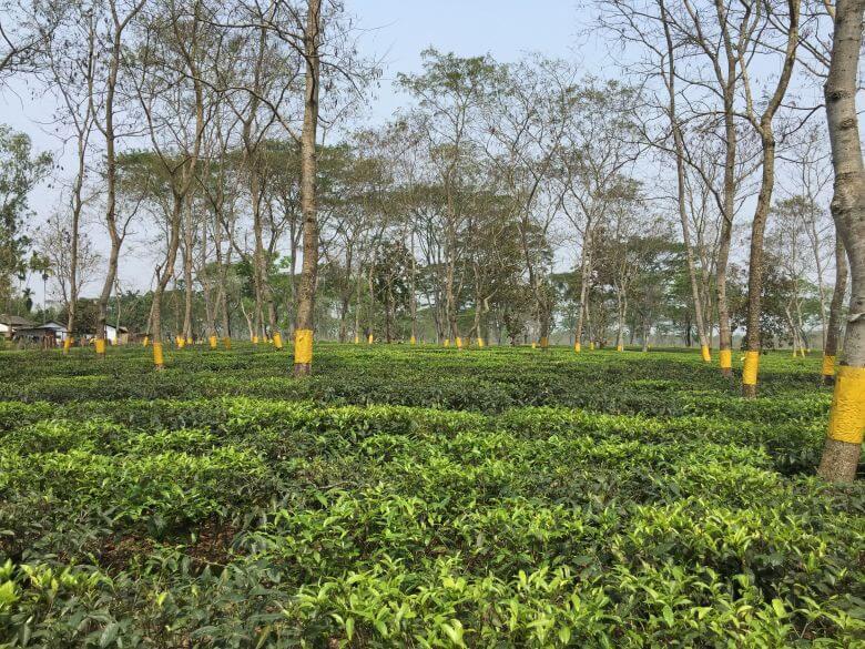 Halmira tea estate
