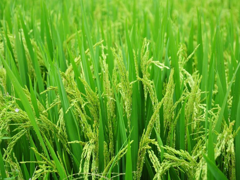 Tripura farmers