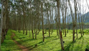 A third of world's tree species are going extinct: Here are five of them