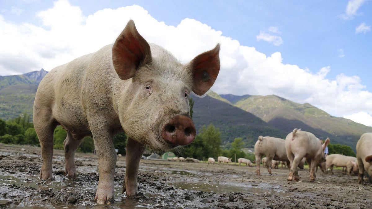 mizoram pig deaths