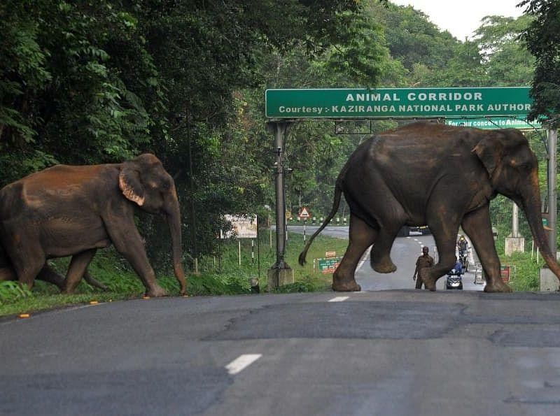 Assam human-elephant conflict