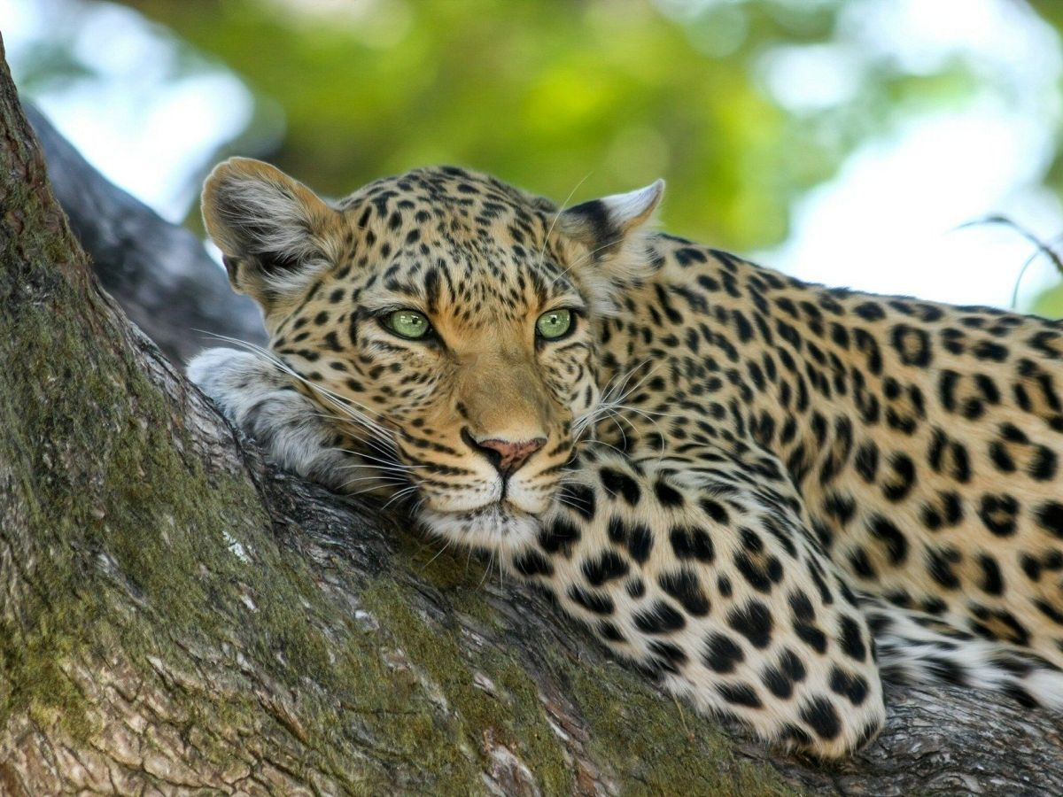 Assam: Leopard gets stuck in hen coop while preying on chicken, rescued