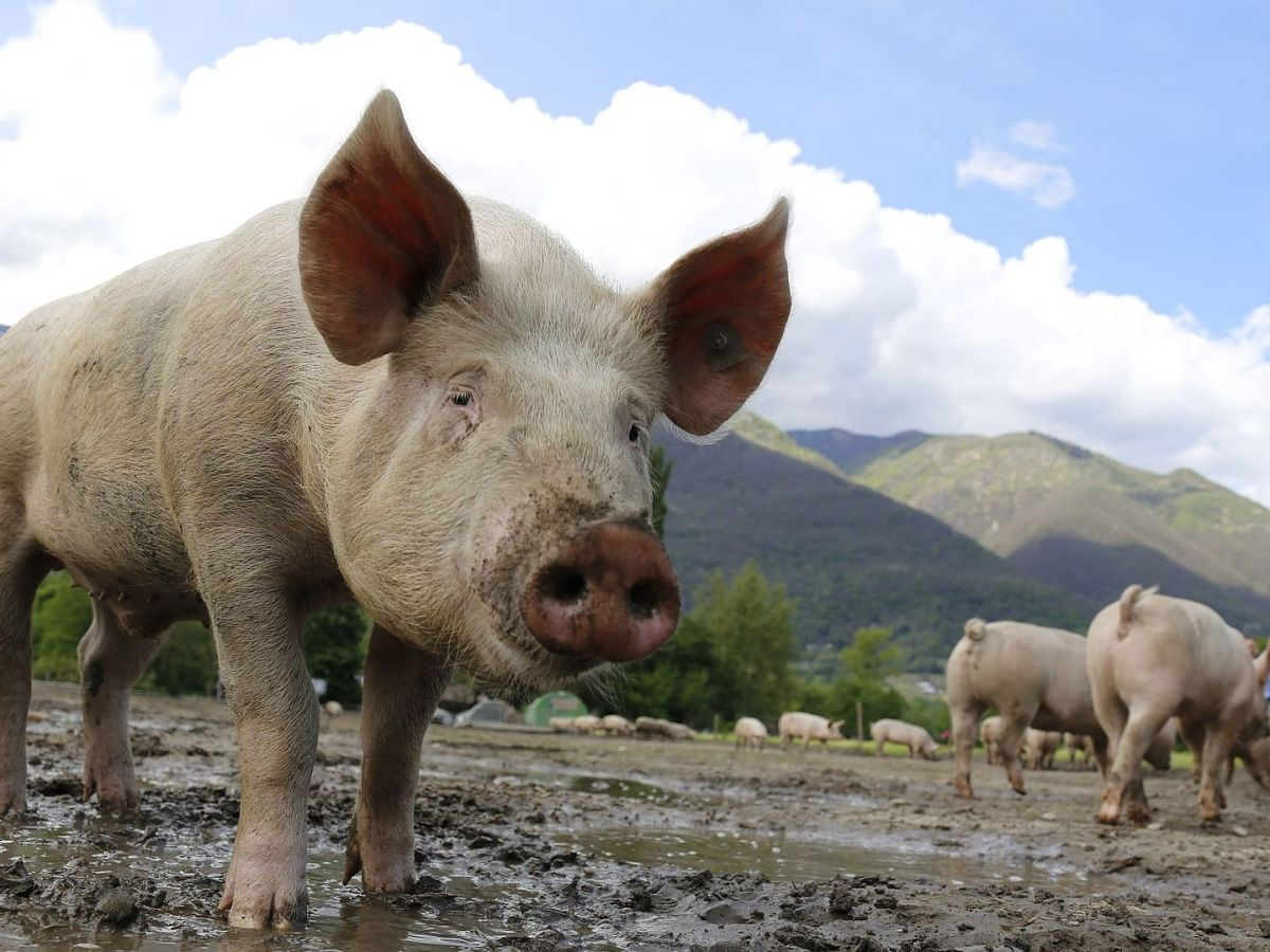 Over 5,500 pigs have died due to African Swine Fever in Mizoram