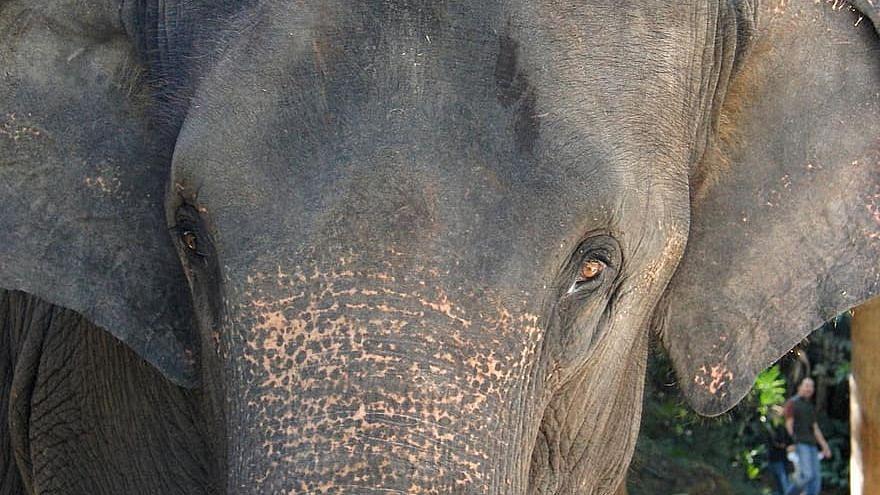 Assam: Elephant dies after getting stuck in wetland